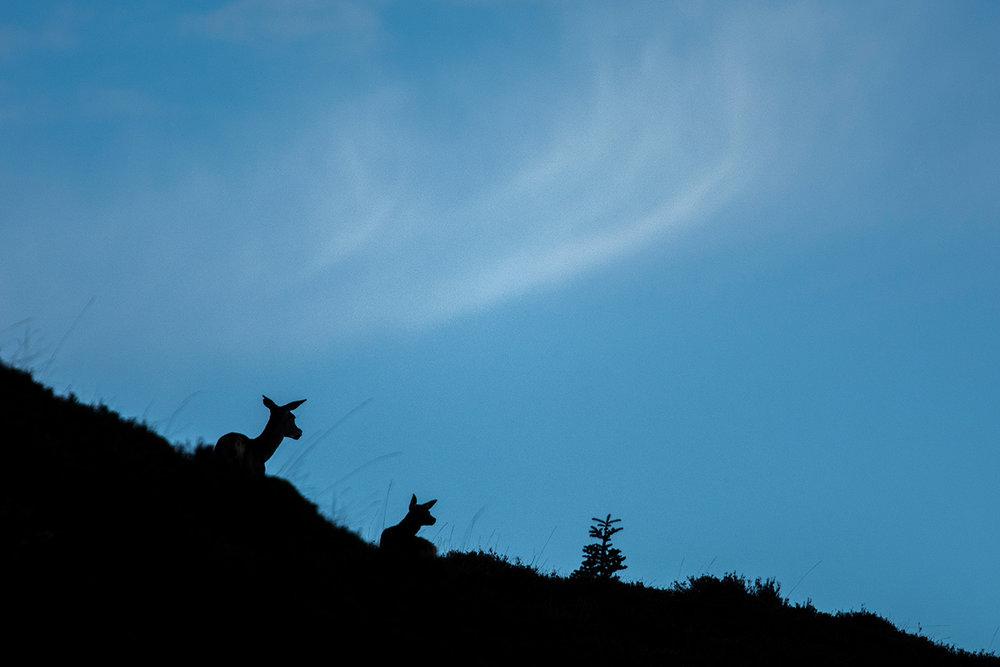 Biche élaphe et son faon / Doe and fawn  (Cervus elaphus)