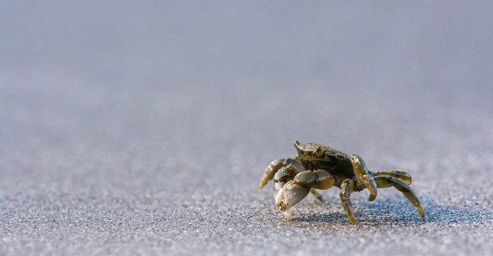 Crabe de l'Oregon / Yellow shore crab  (Hemigrapsus oregonensis)