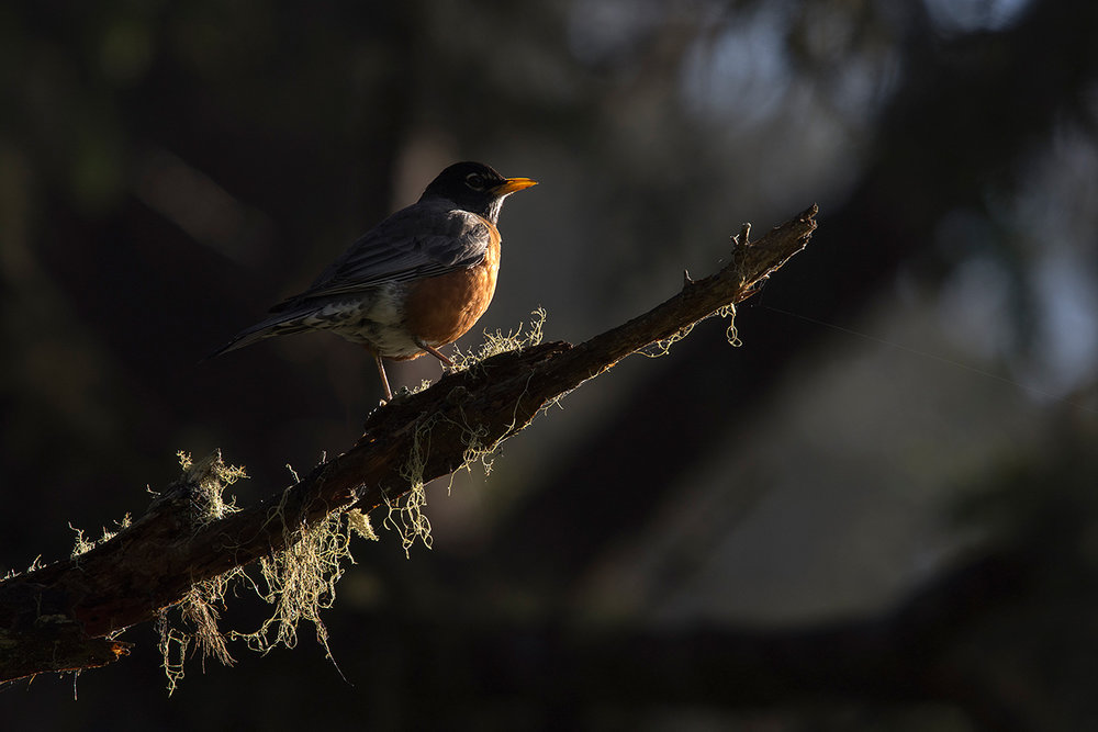 Merle d'Amérique / American robin  (Turdus migratorius)