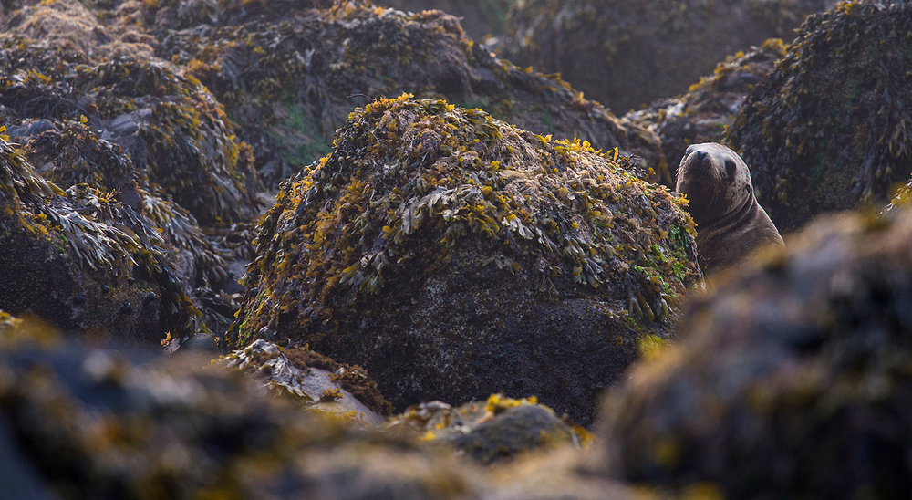 Otarie de Steller / Steller sea lion  (Eumetopias jubatus)
