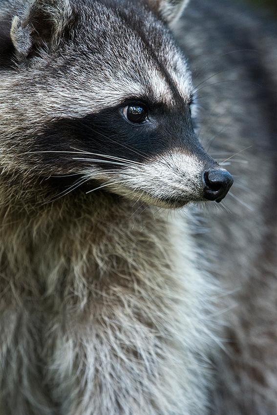 Raton laveur / Raccoon  (Procyon lotor)