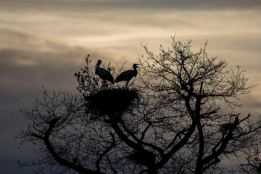 Cigognes blanches / White storks  (Ciconia ciconia)