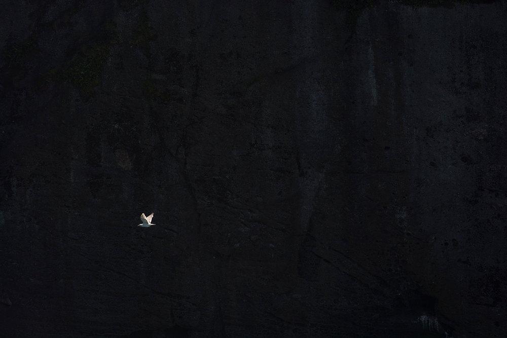 Goéland argenté / European herring gull  (Larus argentatus)