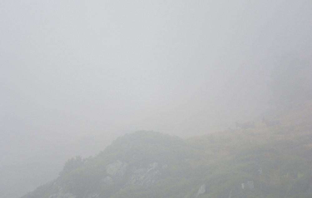 Isards des Pyrénées / Pyrenean chamois  (Rupicapra pyrenaica)