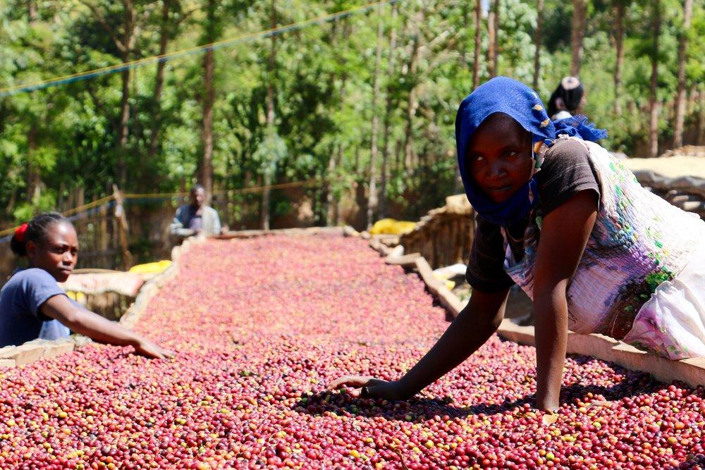 Sorting cherries from the Ardi Anasora harvest, Adola Mill.