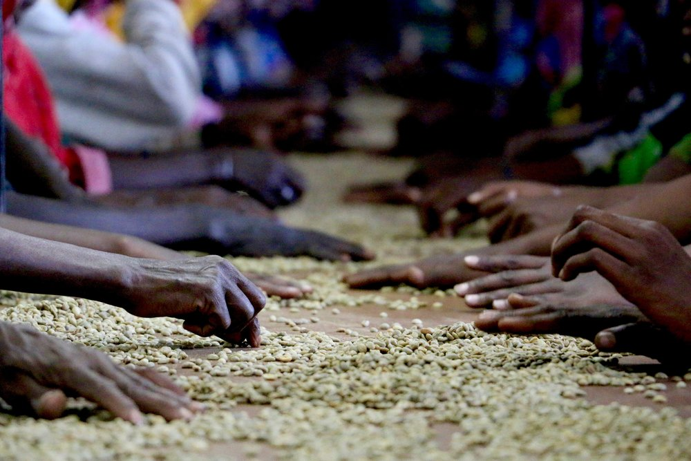 Most coffees in Ethiopia are sorted on belts, by hand, before going through two other sorting practices.