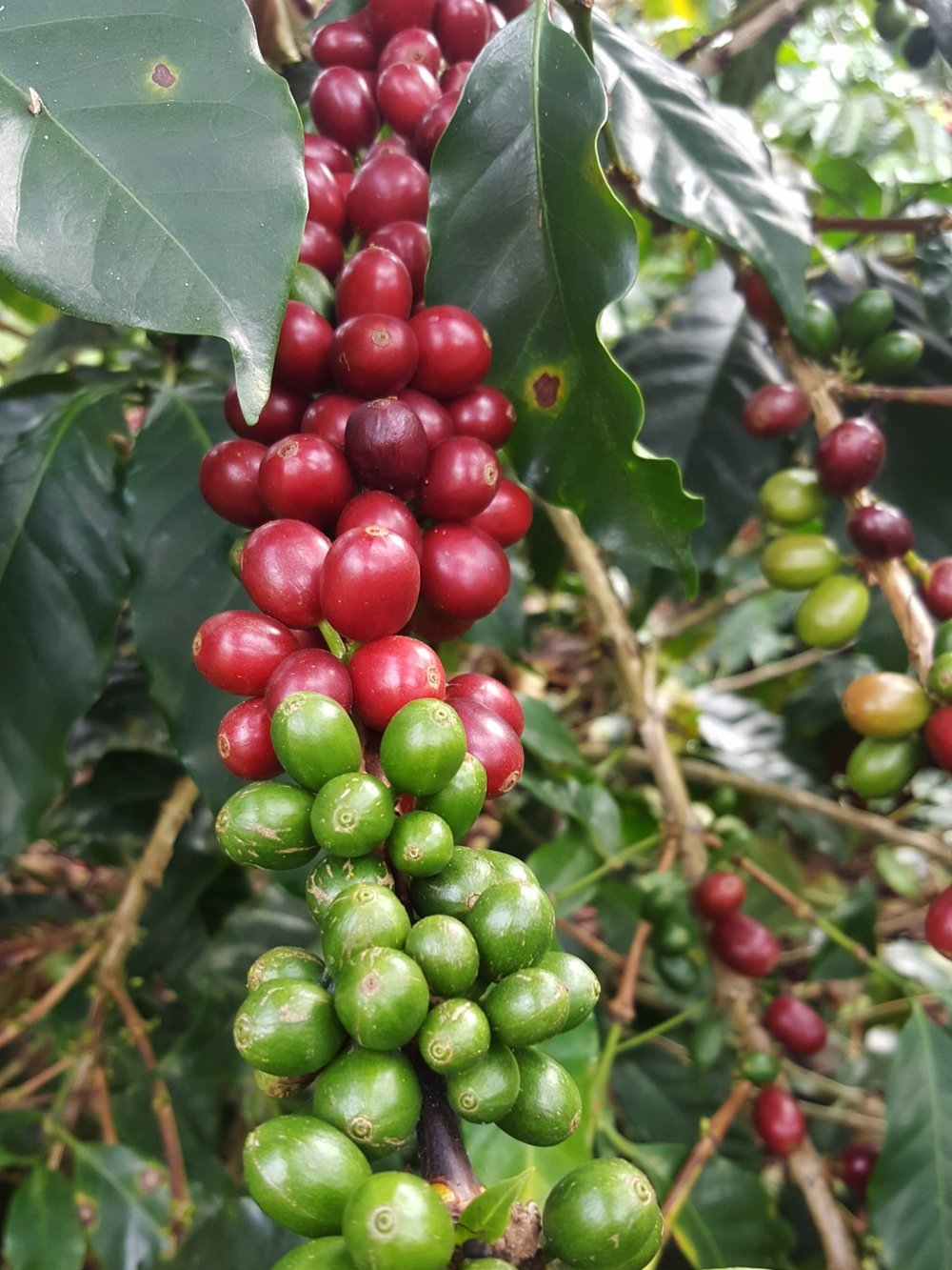 Ripe and unripe coffee cherries on the same tree branch.