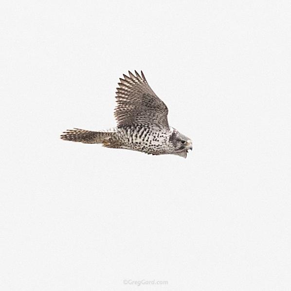 gyrfalcon-palisades-nj-bird-photography-greg-gard-20170122-1DX21717 copy.jpg