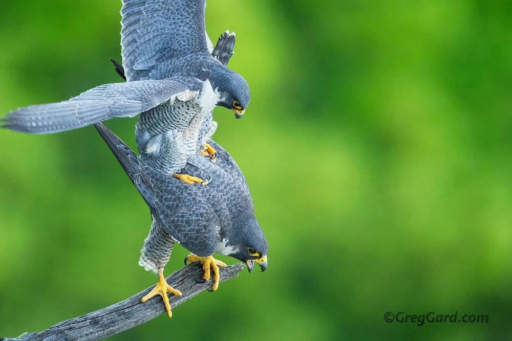 Peregrine Falcon mating
