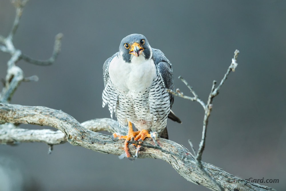 Peregrine Falcon sticking out its tounge