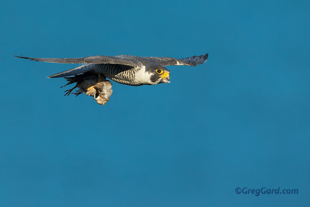 Peregrine Falcon flying by with prey
