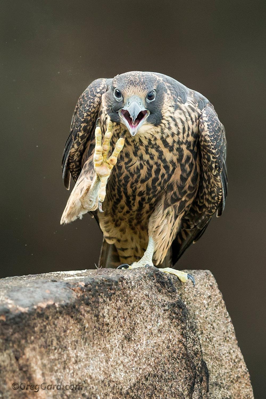 Fledgling Peregrine Falcon