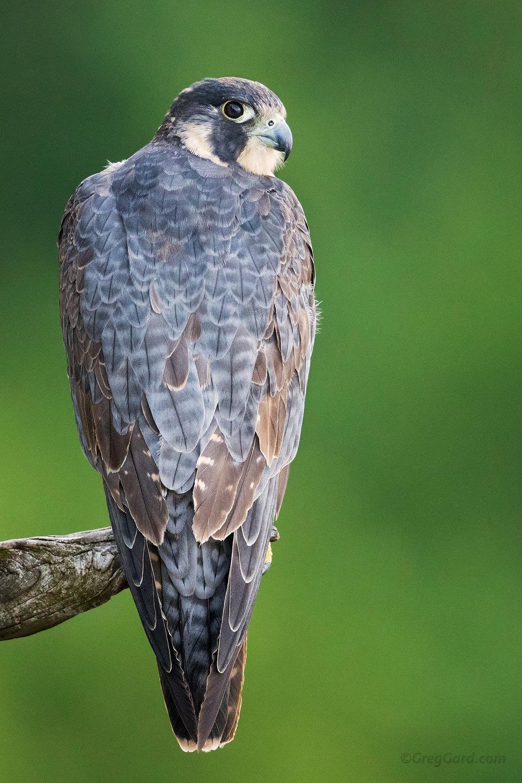 Juvenile Peregrine Falcon motling into adult plumage