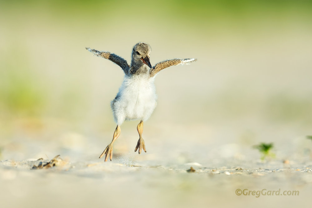 American Oystercatcher chick jumping