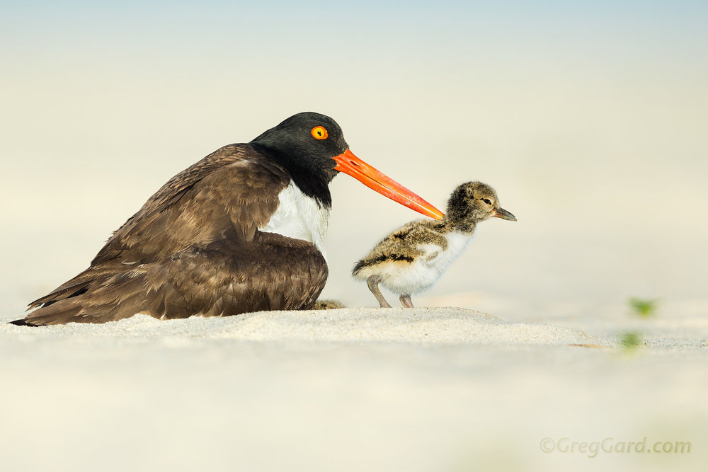 American Oystercatcher with chick