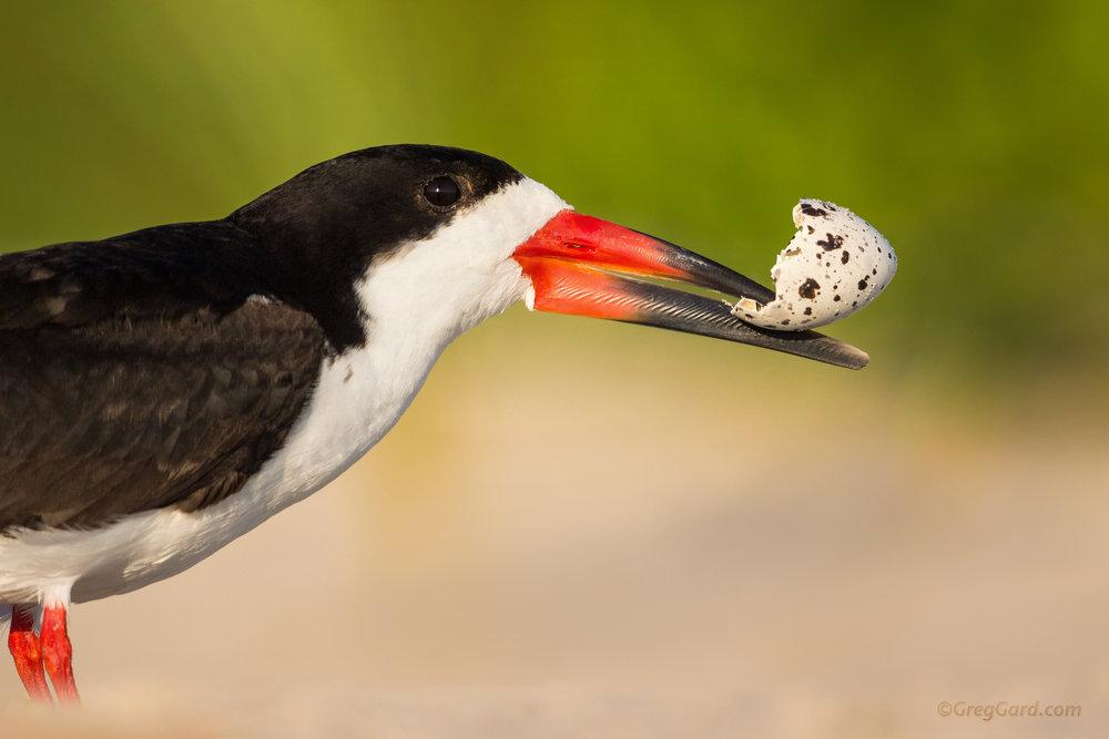 Black Skimmer with an eggshell