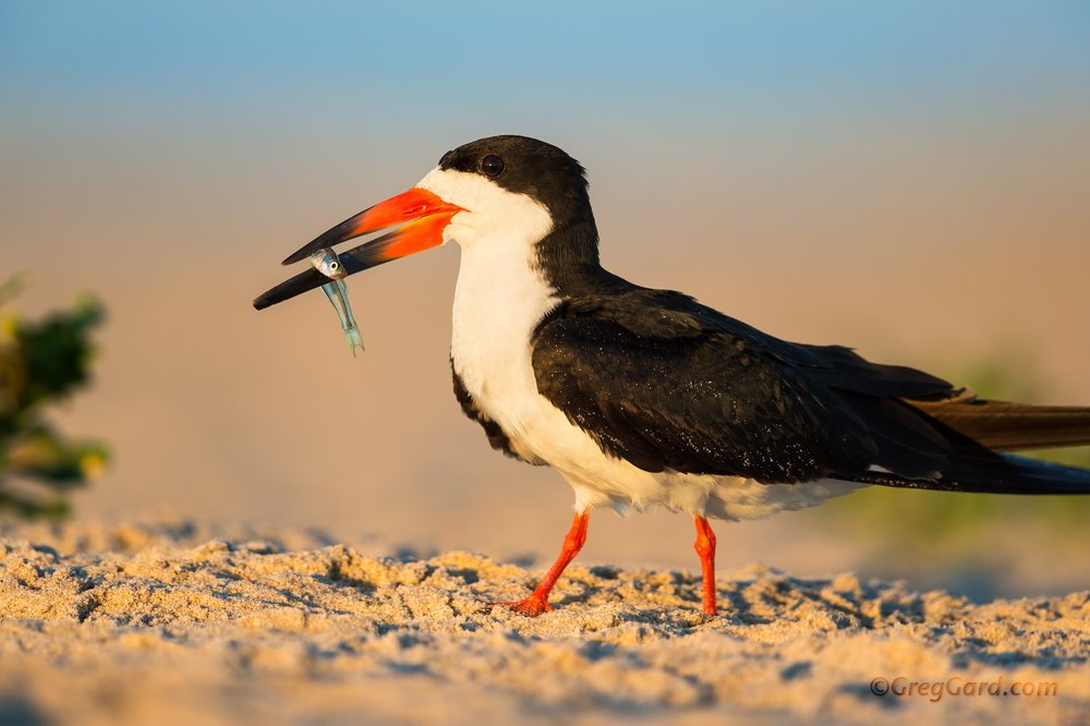Adult Black Skimmer with fish