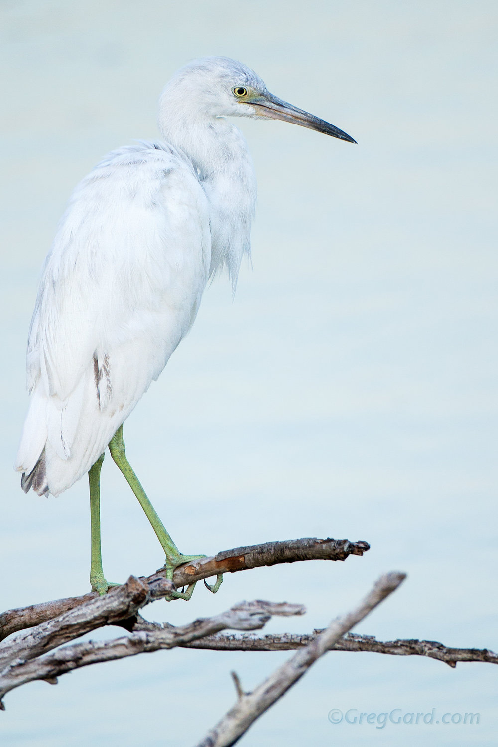 Imatture Little Blue Heron