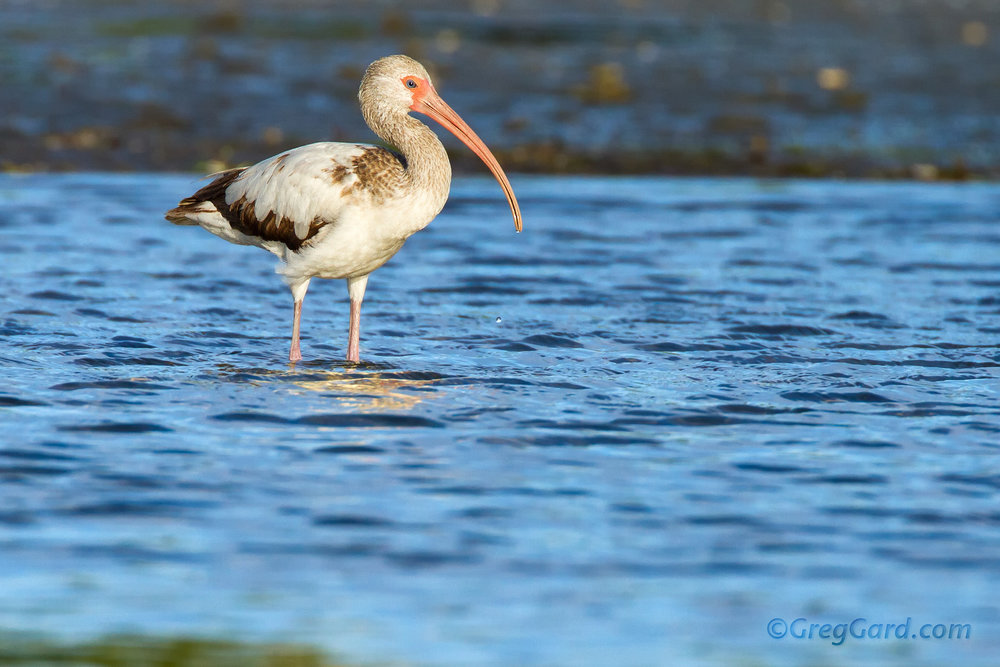 Juvenile White Ibis standing in shallow water