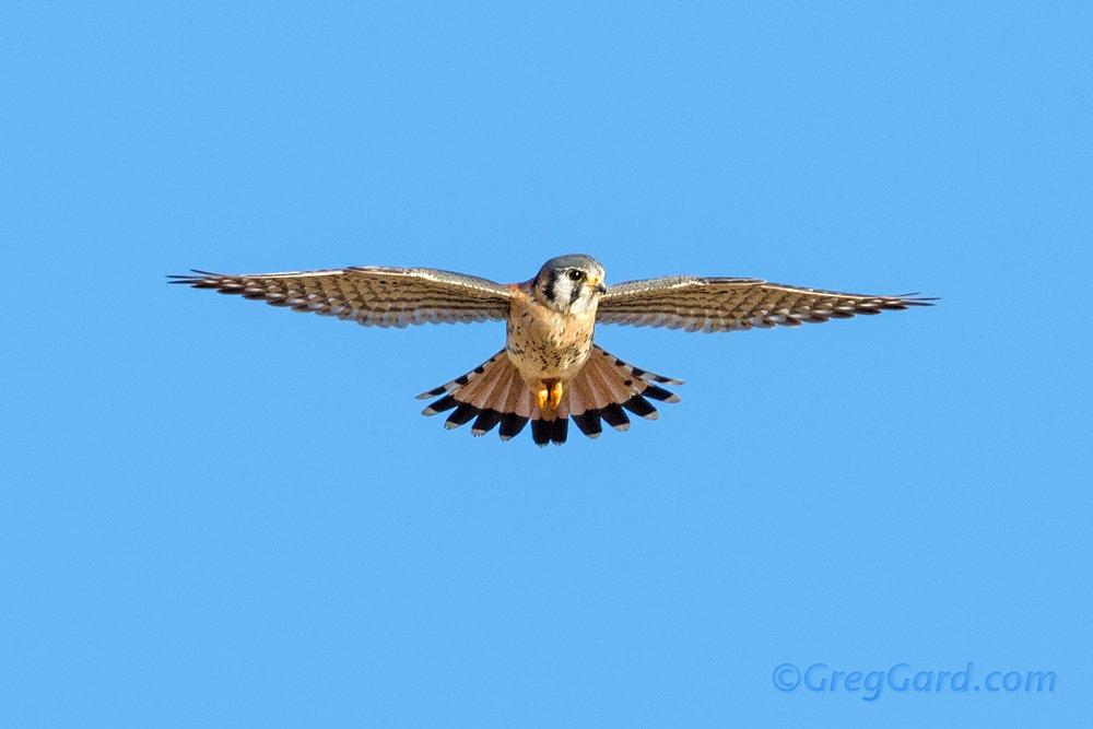 american-kestrel-Falco-sparverius-dekorte-greg-gard-21223.jpg