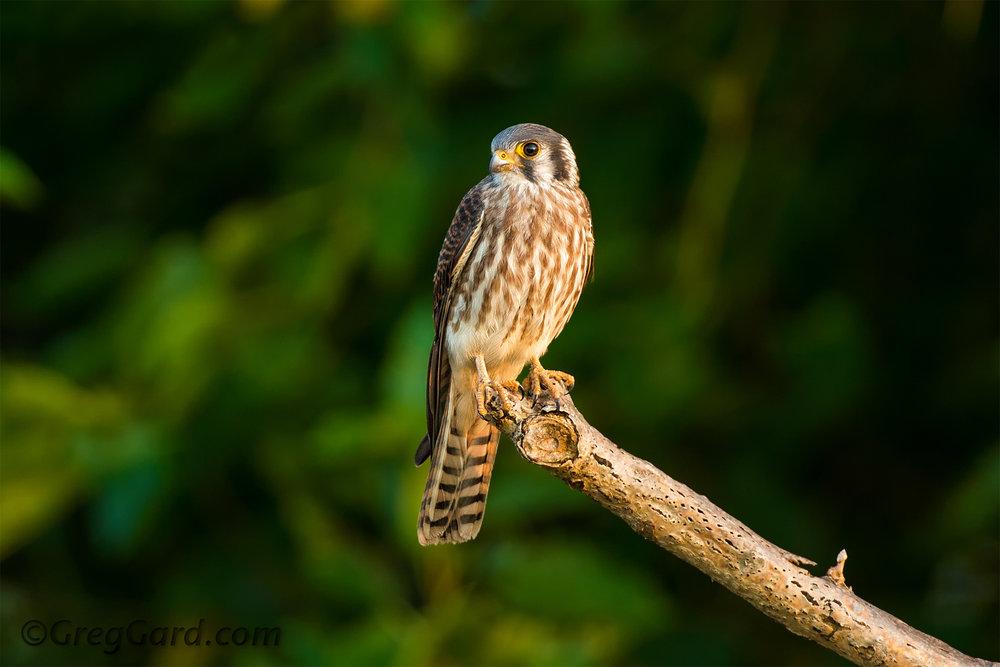 Falco sparveriusRichard W. DeKorte Park, Lyndhurst, New Jersey