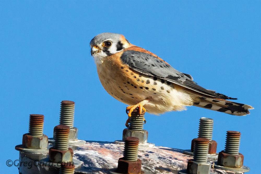 american-kestrel-Falco-sparverius-meadowlands-nj-greg-gard.jpg