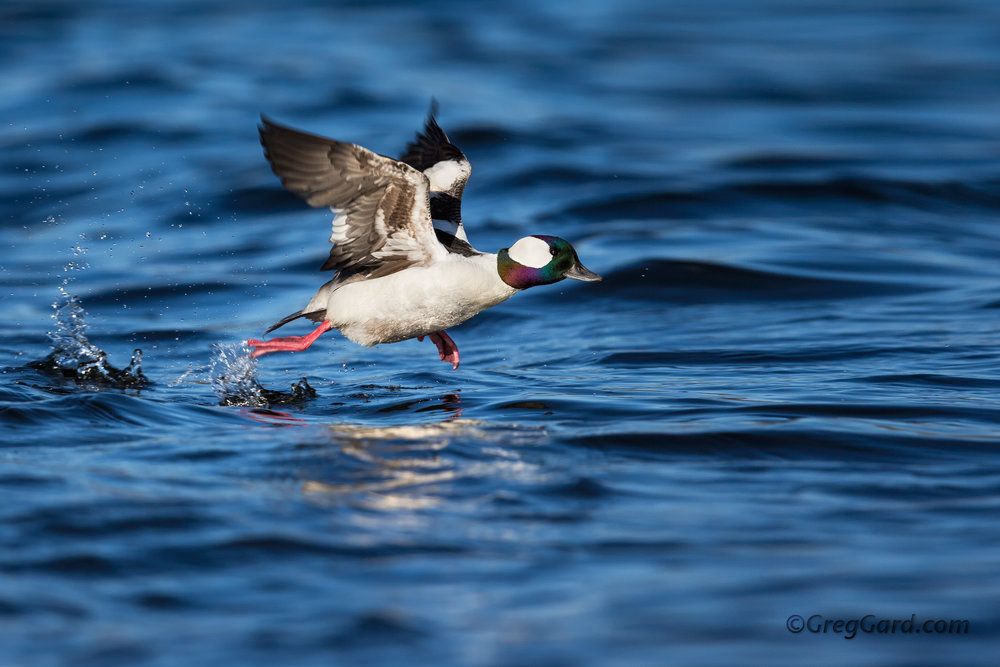 Bufflehead drake taking off