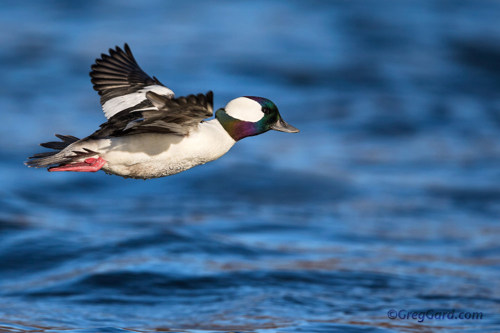 Drake Bufflehead in-flight