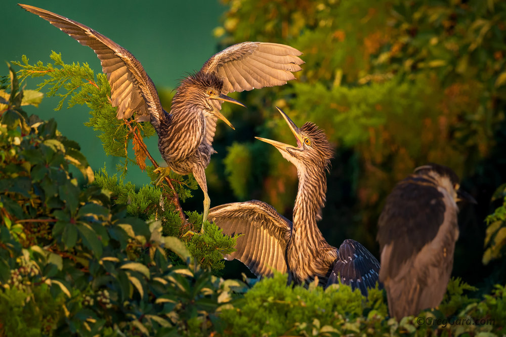 Juvenile Yellow-crowned Night Heron arguing