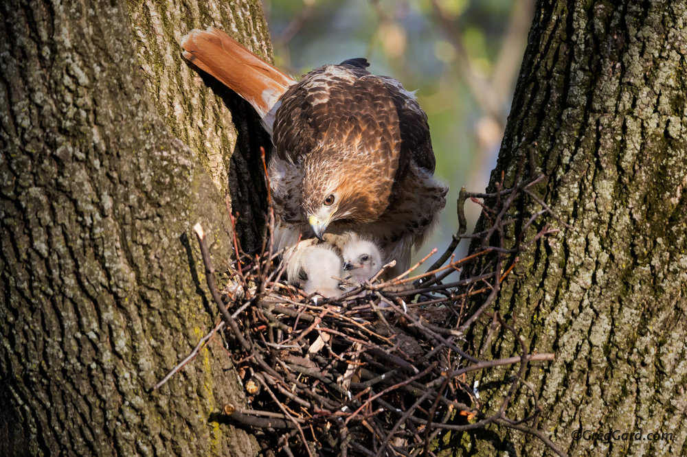 Red-tailed Hawk's nest