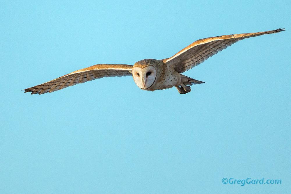Barn Owl in-flight