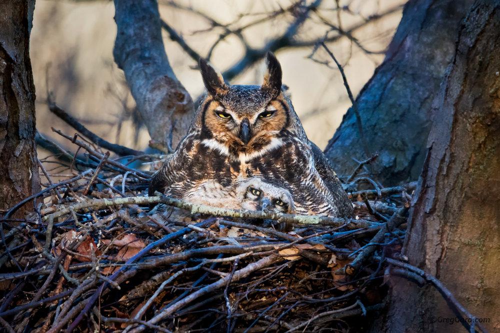 Great Horned Owl in the nest
