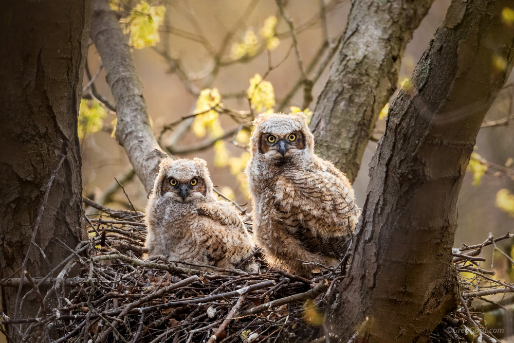 Great Horned Owlets in the nest