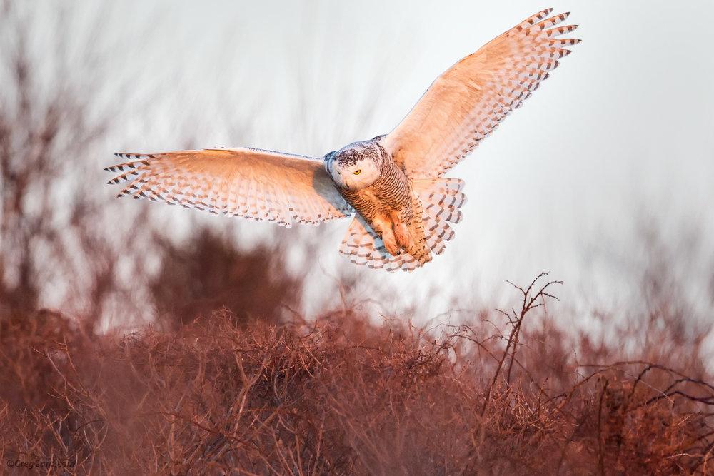 Snowy Owl on a hunt