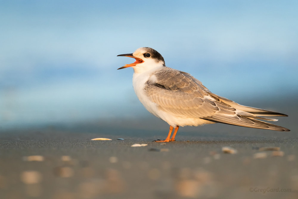 Juvenile Common Tern showing its feather colors