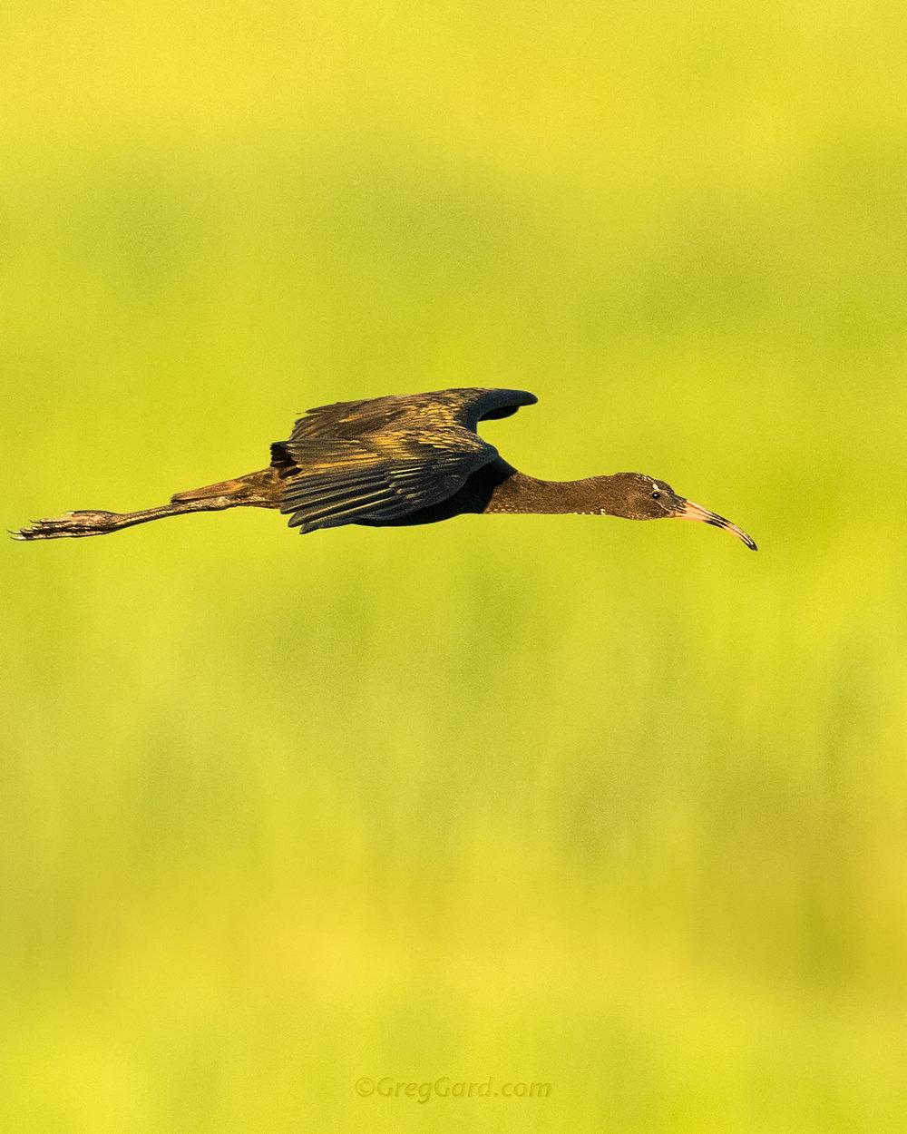 glossy-ibis-juvenile-flying-rookery-nj-bird-photography-greg-gard-878.jpg
