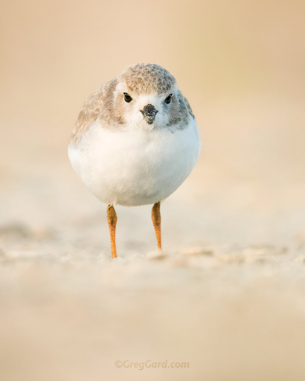 Juvenile Piping Plover - Nickerson Beach, New York