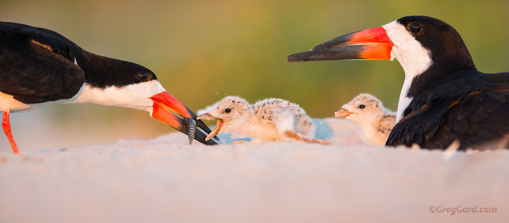 Black Skimmer family at the Nickerson Beach, Long Island, New York, USA