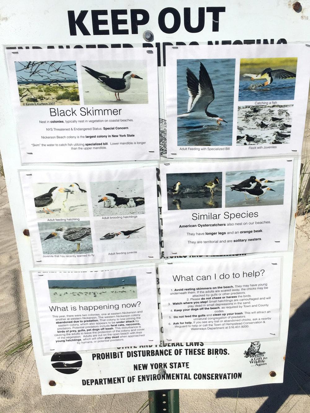 info-black-skimmer.jpg