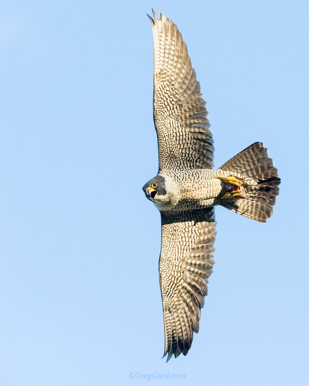 Peregrine Falcon with prey - NJ