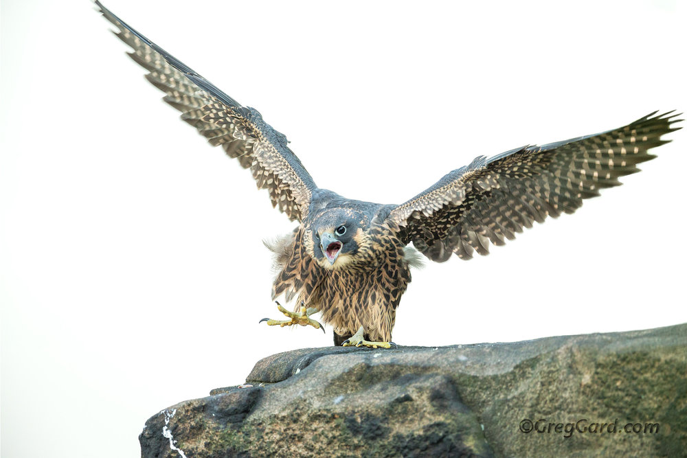Peregrine Falcon with prey - NJ