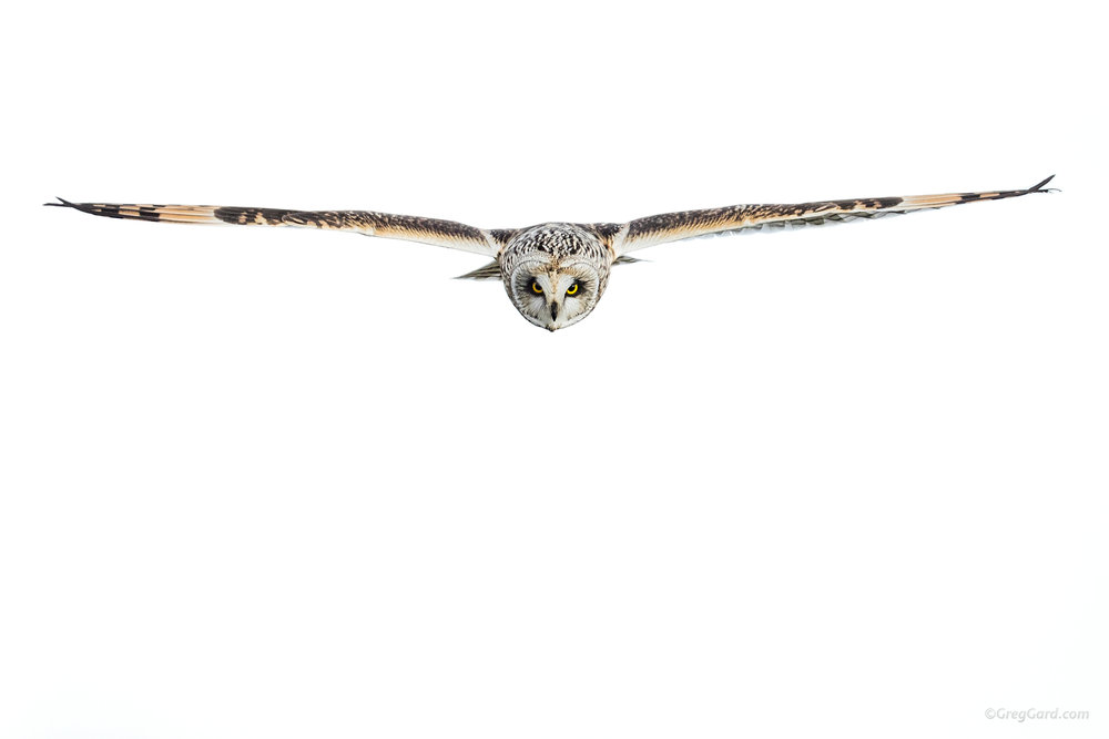 Short-eared Owl on a hunt