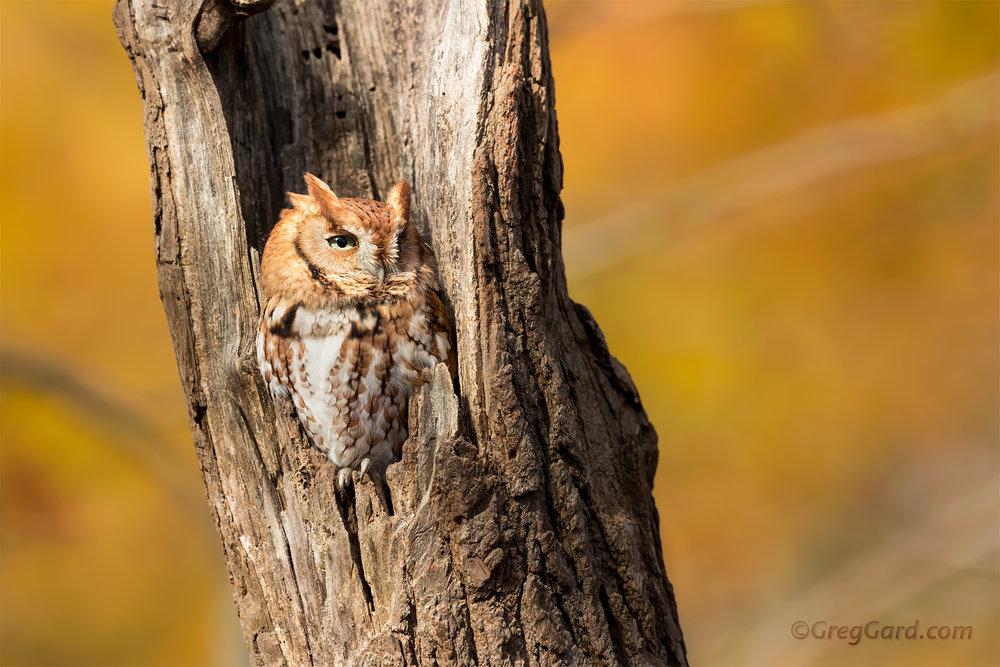 Eastern Screech-Owl - New Jersey