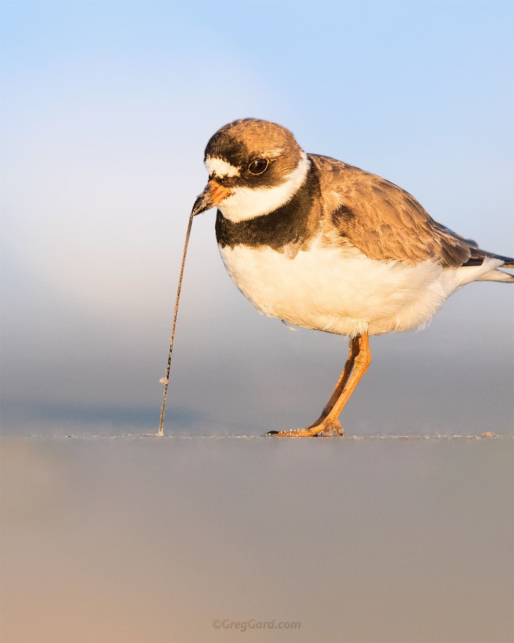 Close-up of a Semipalmated Plover pulling a worm - NJ