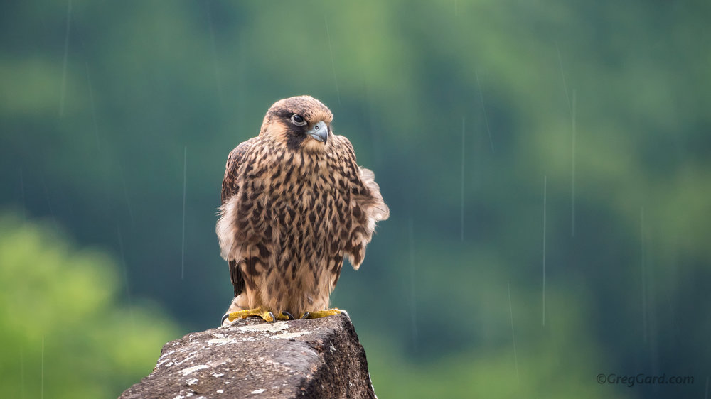 Juvenile Peregrine Falcon - NJ