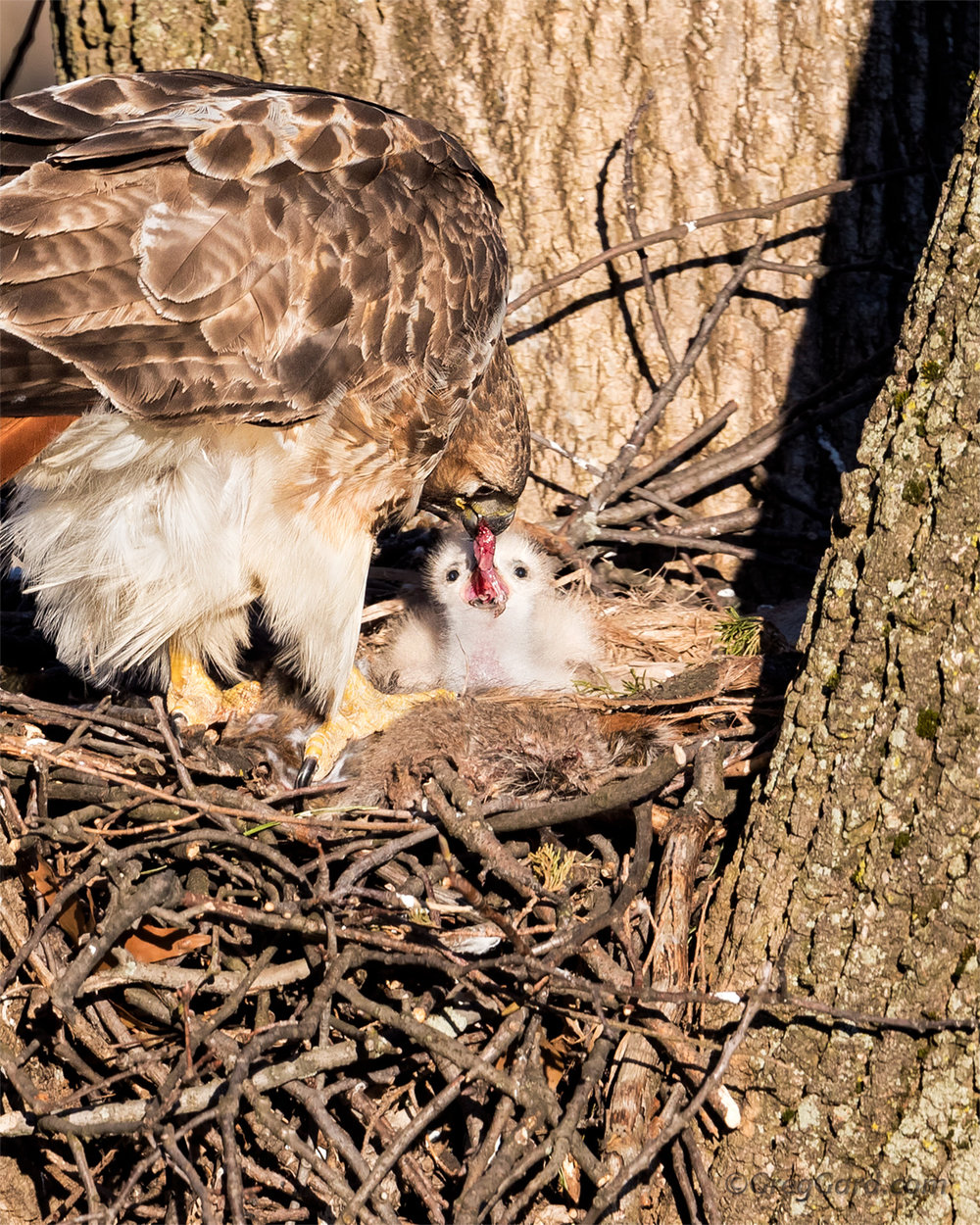 Red-tailed Hawk feeding young - NJ