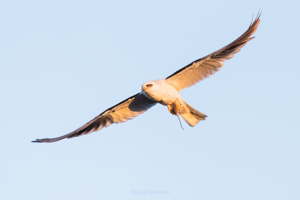 Adult White-tailed Kite in-flight with prey - California, USA