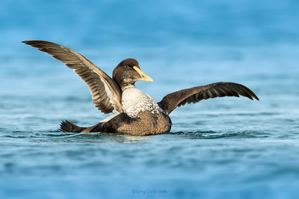 Young male Common Eider rising its wings - NY