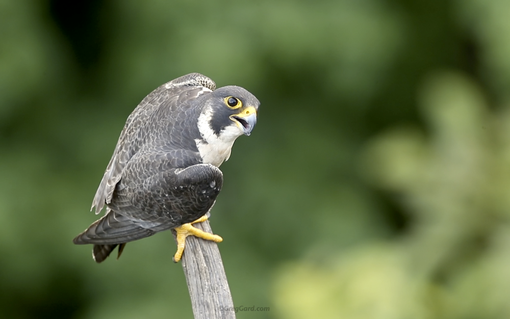 Peregrine Falcon calling - New Jersey