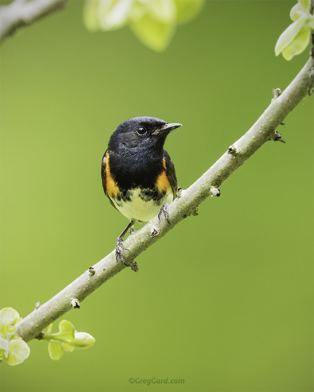 American Redstart on a green background - NJ